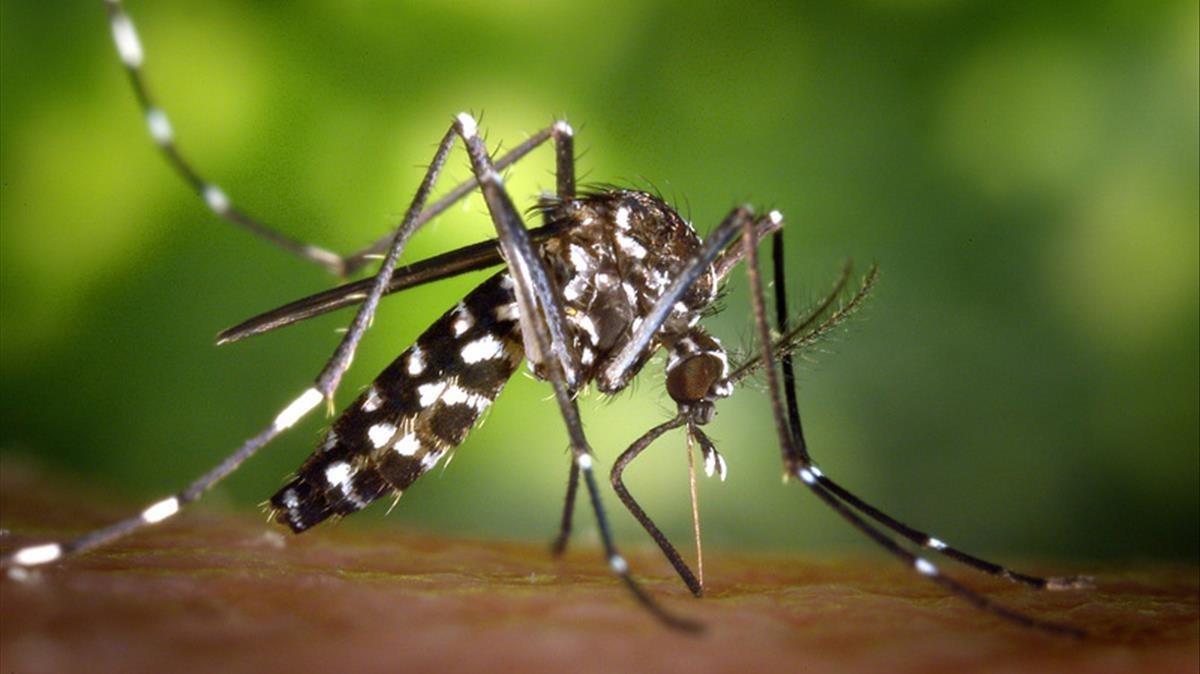 Mosquito tigre en Madrid